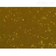兔原代滑膜成纤维细胞