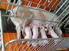 scs养殖猪电子围栏秤
